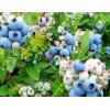 联邦蓝莓产业